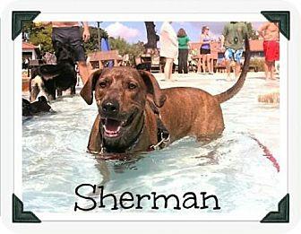 Rhodesian Ridgeback/Plott Hound Mix Dog for adoption in Denver, Colorado - Sherman