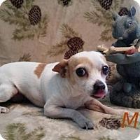 Chihuahua Mix Dog for adoption in Shreveport, Louisiana - Missy