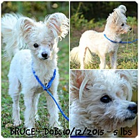 Adopt A Pet :: Bruce - Siler City, NC