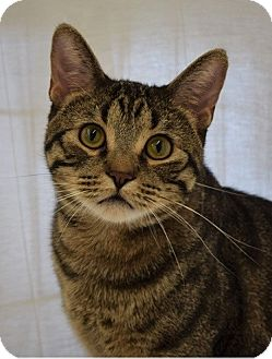 Domestic Shorthair Cat for adoption in Naperville, Illinois - Jackson-ACTIVE, PLAYFUL, SWEET