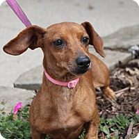 Dachshund Mix Dog for adoption in Georgetown, Kentucky - Tiny