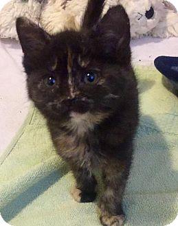 Domestic Shorthair Kitten for adoption in Leonardtown, Maryland - Thimble