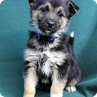 Adopt A Pet :: ANDY - Westminster, CO