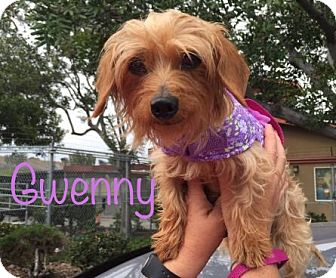 Dachshund/Yorkie, Yorkshire Terrier Mix Dog for adoption in Los Angeles, California - Gwenny