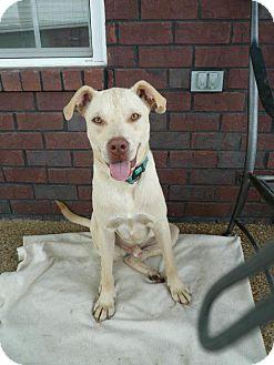 Labrador Retriever/Boxer Mix Dog for adoption in Naugatuck, Connecticut - Armadi