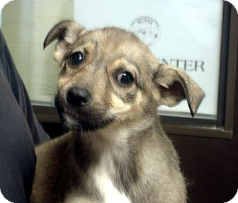German Shepherd Dog Mix Puppy for adoption in baltimore, Maryland - Revah