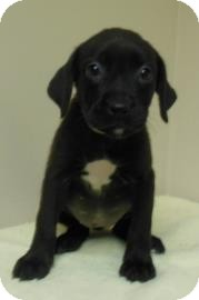 Labrador Retriever Mix Puppy for adoption in Gary, Indiana - Kim