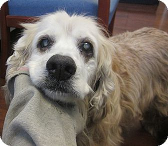 Cocker Spaniel Dog for adoption in Oak Ridge, New Jersey - Hunter