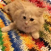 Adopt A Pet :: Tresemme - Addison, IL