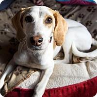 Adopt A Pet :: Lucy - Arlington, VA