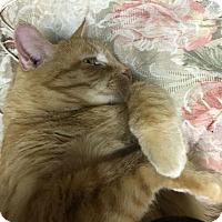 Adopt A Pet :: Catley - Rockville, MD