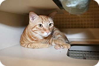 Domestic Shorthair Cat for adoption in Palm desert, California - Mr. B