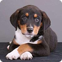 Adopt A Pet :: Pedro - Sudbury, MA