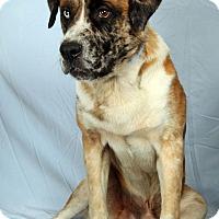 Australian Shepherd/St. Bernard Mix Dog for adoption in St. Louis, Missouri - Marley St. Aussie