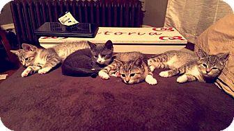 Domestic Longhair Kitten for adoption in Acushnet, Massachusetts - Kittens-Female