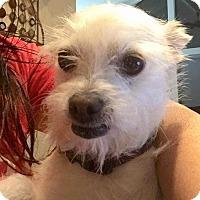 Adopt A Pet :: Rufus - Renton, WA