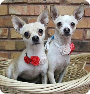 Chihuahua Mix Dog for adoption in Benbrook, Texas - Gina and Tina