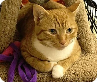 Domestic Shorthair Cat for adoption in Vancouver, British Columbia - Weslee