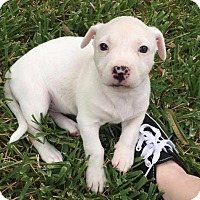 Basset Hound Mix Puppy for adoption in Houston, Texas - Spark