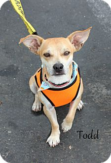 Chihuahua Mix Dog for adoption in Yuba City, California - Todd