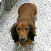 Dachshund Dog for adoption in Columbia, Tennessee - Buddy #17 in TN