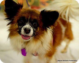 Papillon Dog for adoption in Edmond, Oklahoma - Lady Bug (Adoption Pending)