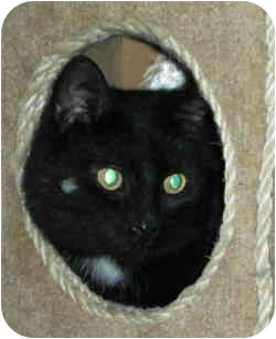Domestic Shorthair Cat for adoption in Elmira, Ontario - Shilo