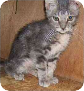 Bengal Kitten for adoption in Dallas, Texas - Blue Barry