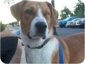 yardley adopted dog bowie md labrador retriever