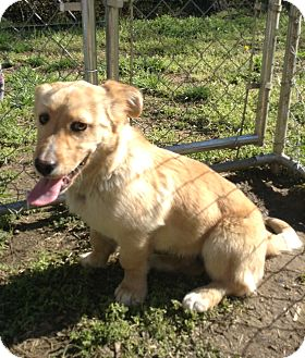Welsh Corgi Mix Dog for adoption in Hazard, Kentucky - Ben