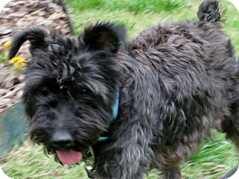 Schnauzer (Miniature)/Yorkie, Yorkshire Terrier Mix Dog for adoption in Marietta, Georgia - Pepper