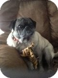 Pug Dog for adoption in Austin, Texas - Biscuit
