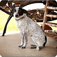 Adopt A Pet :: Bridgit - Owensboro, KY