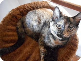 Domestic Shorthair Cat for adoption in McConnells, South Carolina - Peaches