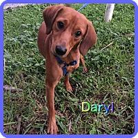 Adopt A Pet :: Daryl - Hollywood, FL