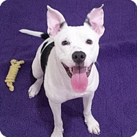 Pit Bull Terrier Mix Dog for adoption in St. Louis, Missouri - Jazzy
