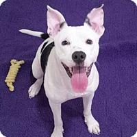 Adopt A Pet :: Jazzy - St. Louis, MO