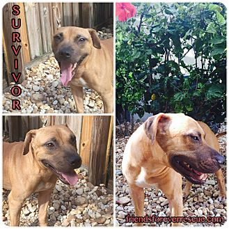 Black Mouth Cur/Staffordshire Bull Terrier Mix Dog for adoption in Palmetto Bay, Florida - survivor