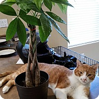 Domestic Shorthair Cat for adoption in Mesa, Arizona - Marley