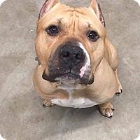 Adopt A Pet :: Colt - Davison, MI
