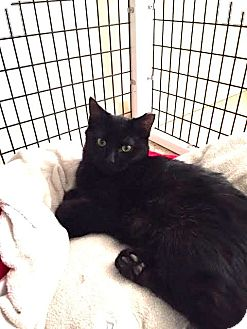 Domestic Shorthair Kitten for adoption in Chicago, Illinois - Uncle Phil