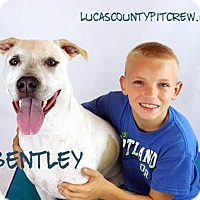 Labrador Retriever/American Pit Bull Terrier Mix Dog for adoption in Toledo, Ohio - Bentley