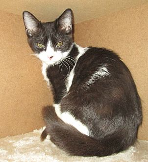 Domestic Shorthair Kitten for adoption in San Bernardino, California - ZZ