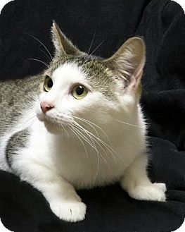 American Shorthair Cat for adoption in Rochester, New York - Bunny
