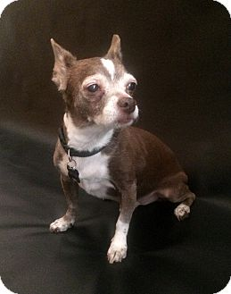 Chihuahua Mix Dog for adoption in Clayton, California - Coco