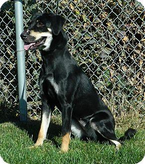Labrador Retriever Mix Dog for adoption in Columbus, Nebraska - Amber