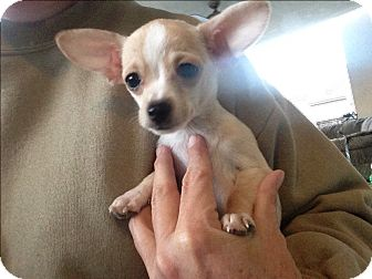 Chihuahua Mix Puppy for adoption in Winchester, California - Paul