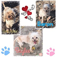 Adopt A Pet :: Baylee,Baron,Brewster - Fort Wayne, IN