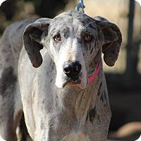 Adopt A Pet :: Phoebe - Lubbock, TX
