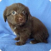 Adopt A Pet :: Poof - Lawrenceville, GA